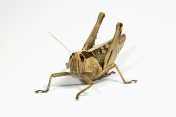 Closeup of Single Patterned Grasshopper on White