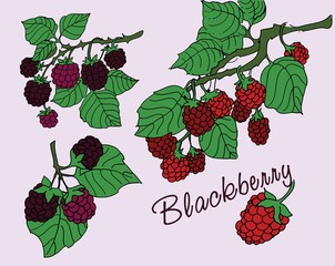 Blackberry with leaves. Vector illustration.