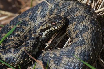 Adder Snake Coiled