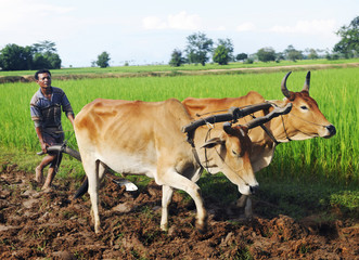Cambodian Local Farmer Ploughing The Soil Fototapete