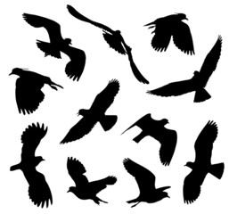 Northern Lapwing in flight silhouettes