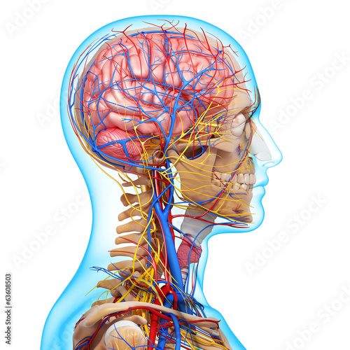 3d Anatomy Of Circulatory System And Nervous System With Brain