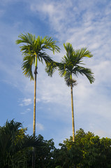 many palm trees against a blue sky