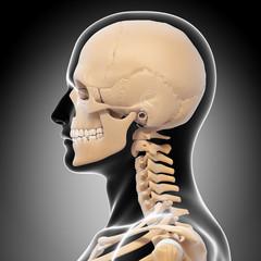 Anatomy of human skull