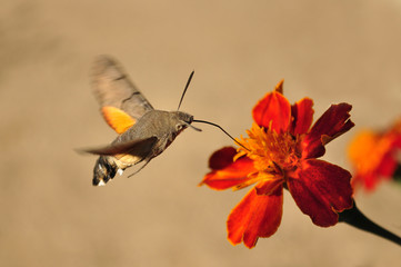 Macroglossum stellatarum, Hummingbird Hawk-moth