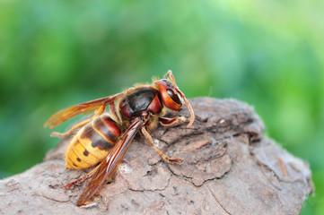 Vespa crabro, European giant hornet