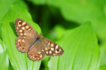 Pararge aegeria, Speckled Wood Butterfly, european butterfly