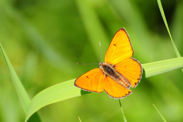 red butterfly Scarce Copper, Lycaena virgaureae