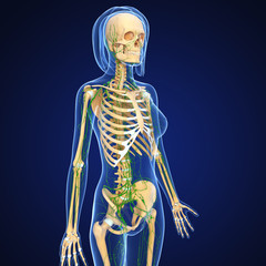 3d Anatomy of female lymphatic system in blue