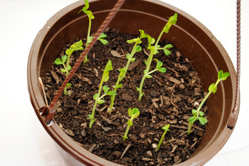 Pea Pod Plants Growing in a Hanging Pot