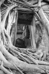Root of the tree absorbing the ruins Wat Bang Kung Within the te
