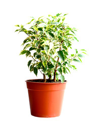 Home flower in a pot. ficus benjamina