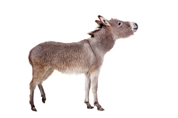 Pretty Donkey isolated on the white background