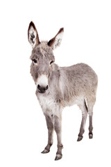 Foto op Canvas Ezel Pretty Donkey isolated on the white background