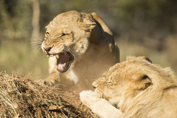 African Lion male and female snarling (Panthera leo) South Afric