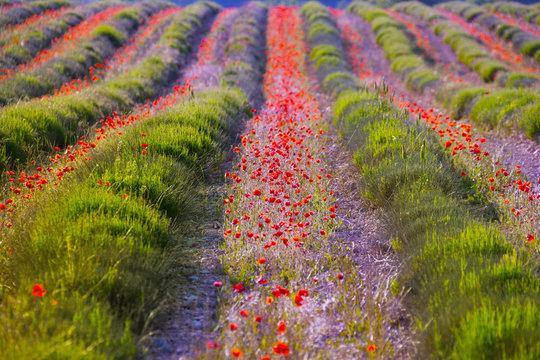 Poppy flowers in lavender field