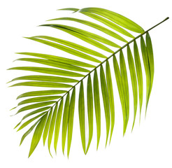 Canvas Prints Palm tree Green leaf of palm tree on white background