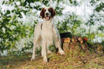Gun dog near to trophies, horizontal, outdoors