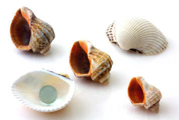 Shells with pearl and Rapana isolated on white