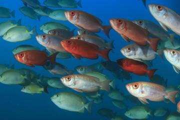 Bigeye fish school