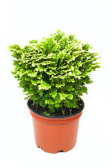 Selaginella in pot