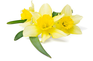 yellow daffodil isolated on a white background