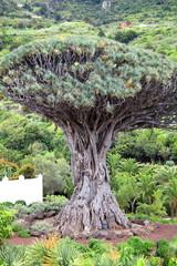 Drago Milenario, Icod de los Vinos, Tenerife