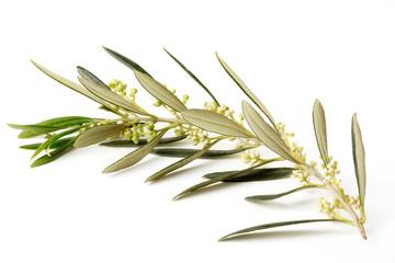 Fototapete - Ramo di ulivo fiorito