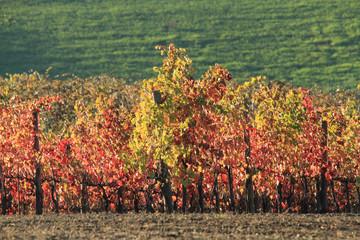 vigneto in autunno colori delle foglie