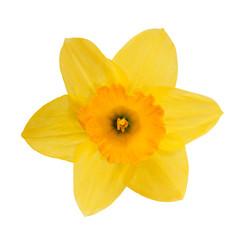 Foto op Plexiglas Narcis Yellow daffodil