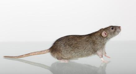 brown domestic rat closeup