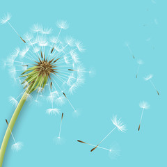 White dandelion with pollens isolated