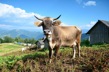 Beautiful landscape with a cow in the mountains in Karpath, Ukra