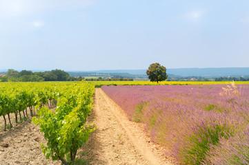 Vineyard in south-France