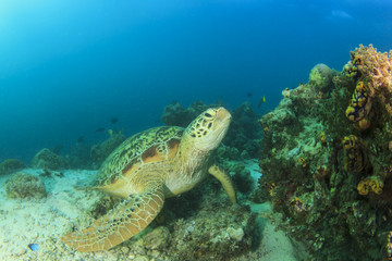 Green Sea Turtle on over coral reef