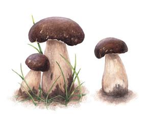 Watercolor porcini mushrooms