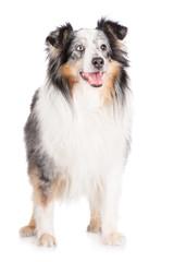 happy sheltie dog