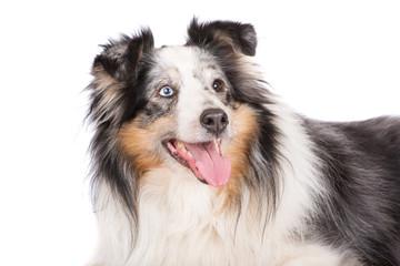 merle shetland shepherd dog