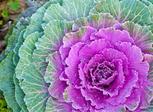 The white Flowering Cabbage and Kale or Ornamental Cabbage and K