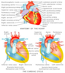 Anatomy of the Heart. The Cardiac