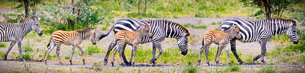 Foto op Canvas Zebra Zebras with young in Tanzania.