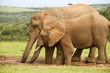 Two elephants drinking