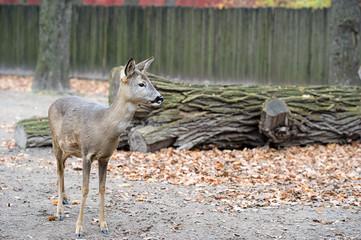 A little western roe deer