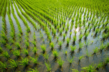 Green rice cultivation field