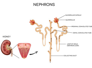Detailed medical illustration of nephron and and glomerulus