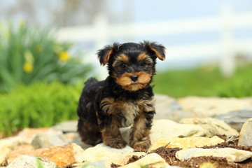 Cute Yorkshire Terrier Standing on Stone Pathway