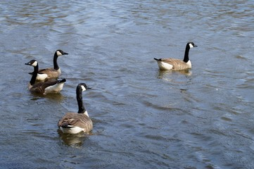 A group of canadian geese
