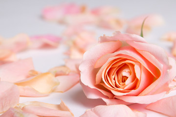 pink rose flower and petals over white background