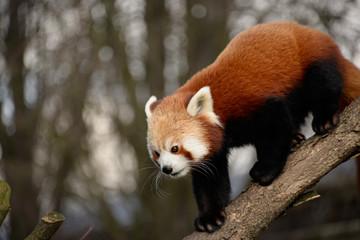 Poster Panda Red panda