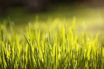 Close up of fresh grass in the morning dew with copy space